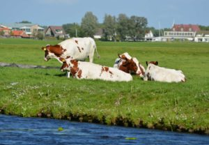Cows along a canal in Holland.
