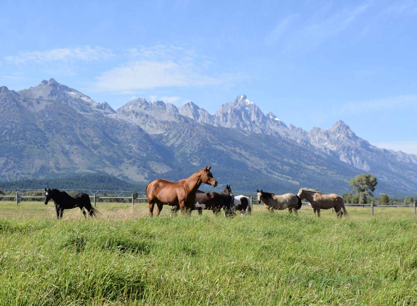 Beautiful horses with the Grand Tetons.