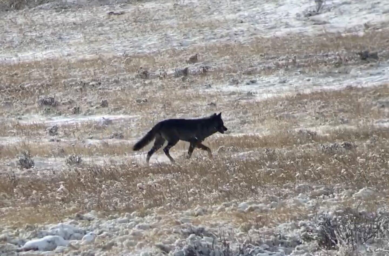 Wolf watching in Yellowstone